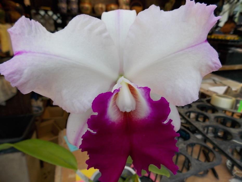 Cattleya Julia 'Queen', orchid plant