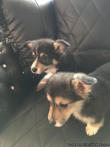 have male female corgi puppies for new homes