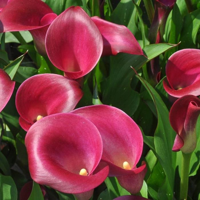 calla lily plant for sale classifieds. Black Bedroom Furniture Sets. Home Design Ideas
