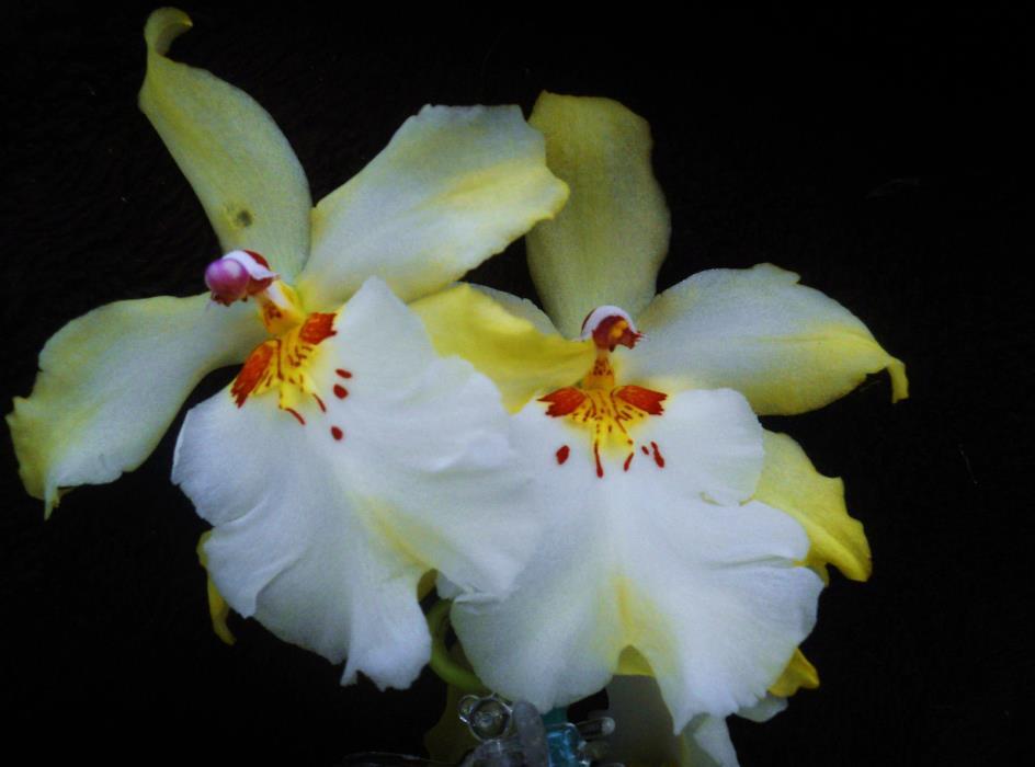 Vuyl. Celtic Sun 'Maya' MAC95,, orchid plant