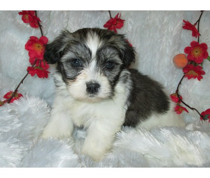 Beautiufl Shih Tzu and Maltese Pups