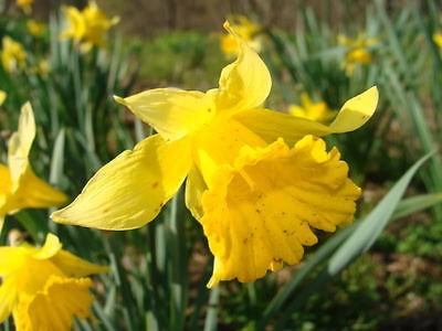 100 WILD YELLOW DAFFODIL FLOWER BULBS (NARCISSUS PSEUDONARCISSUS) #5