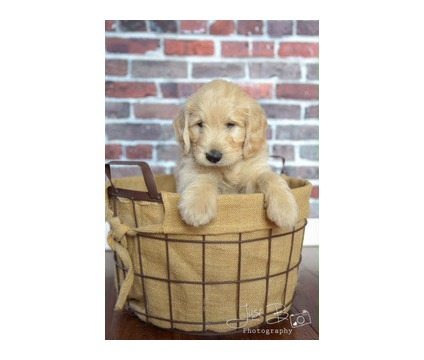 English Goldendoodles Cream and White