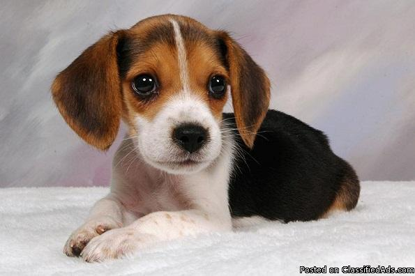 Black/white Beagle puppies looking for home