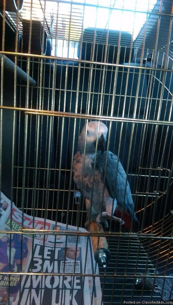 African grey talking parrot