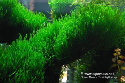 aquarium plants live Bolbitus Heudelotii