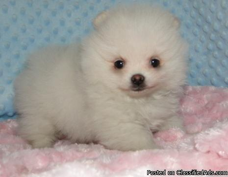 100% Pomeranian puppies for sale to loving homes now