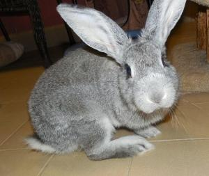 Adopt Momma a Flemish Giant