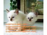 Balinese kits for free adoption