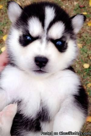 Akc registered Siberian Husky puppies - 230.00 US$
