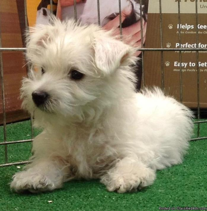 Westhighland White Terrier Puppy