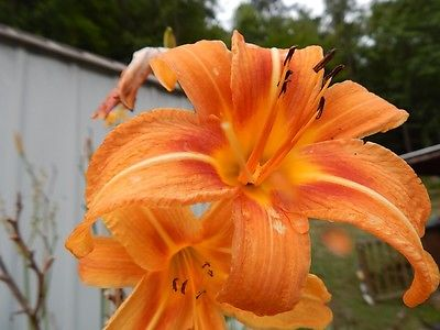 5 Orange Tiger Lily Bulbs Fans Ditch Lily Pond Lily Spring Flowers Lillies Lilly