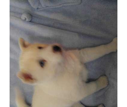 AKC Siberian Husky Puppy
