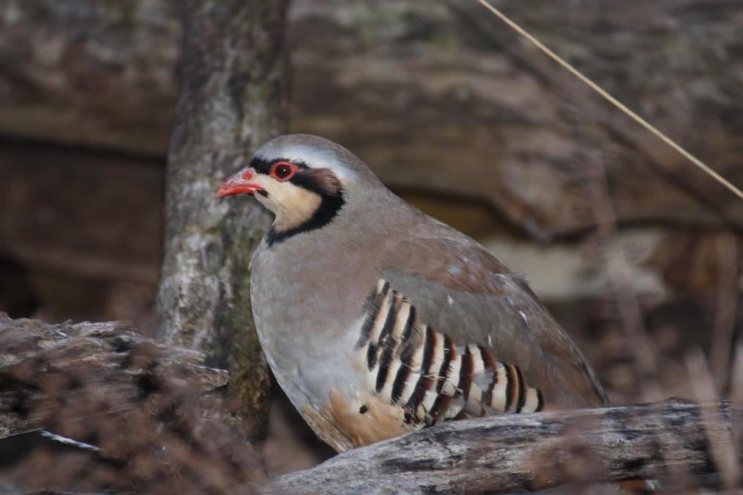 Chukar Hatching Eggs - For Sale Classifieds