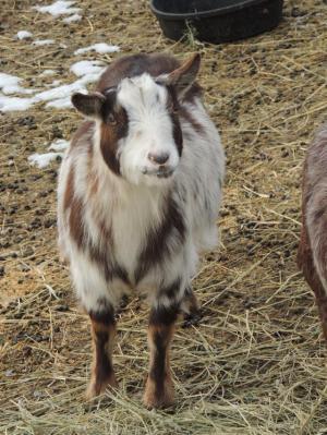 Adopt JOEY a Goat