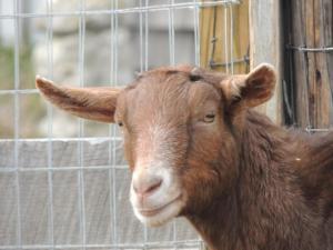 Adopt CHANDLER a Goat