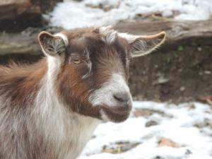 Adopt ROSS a Goat