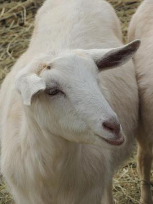 Adopt PEARL a Goat