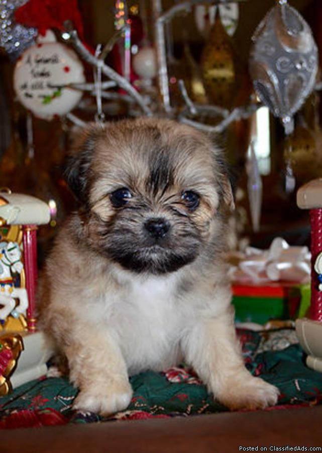 Adorable Shih tzu for a new Home &