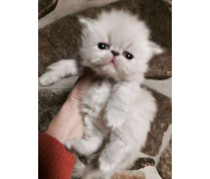 Lovely and Fun Persian and Himalayan Kittens