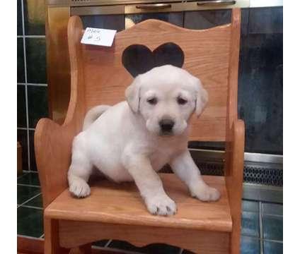 AKC Yellow Labrador Puppies