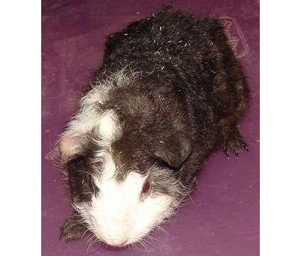 Guinea pig pigs Teddy Skinny Hairless American Silky