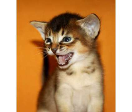 Abyssinian kittens, purebreed, CFA reg. BLUE and RUDY