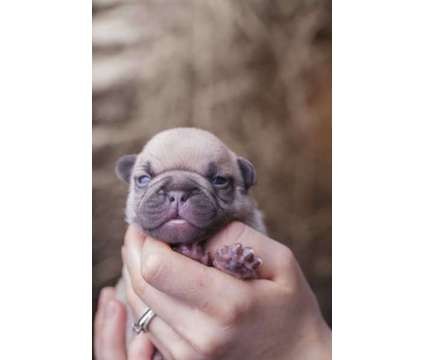 AKC Lilac French Bulldog Puppies