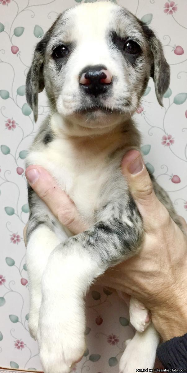 Gorgeous Catahoula Leopard Puppies