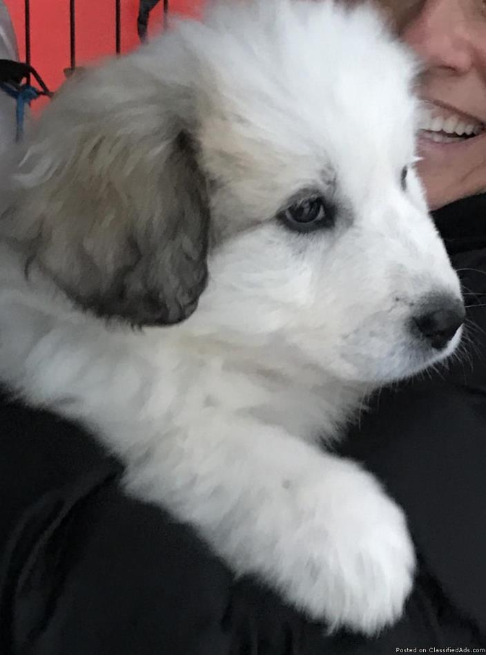 For sale: 2 female Great Pyrenees Puppies - 10 weeks