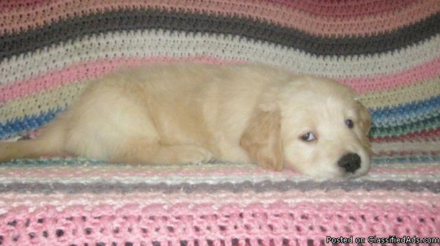 Golden Retriever Puppies Ready For January 11th