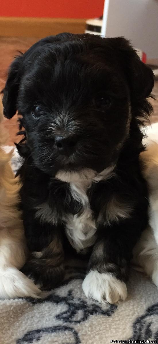 Parti-colored maltipoo female pup!