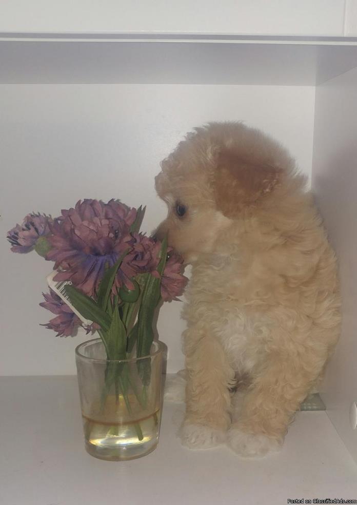 Male Miniature Poodles