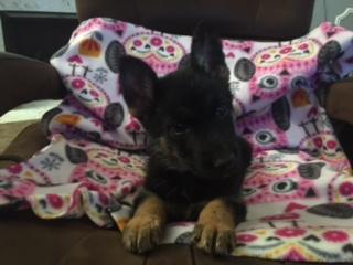 UKC German Shepherd Puppies