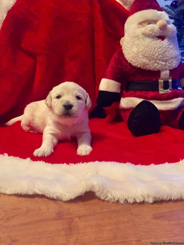 Labradooodle puppies for sale!