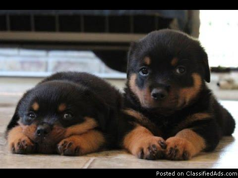rottweiler puppies ready to go for any good home