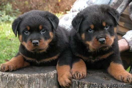 male and female rottweiler puppies ready to go