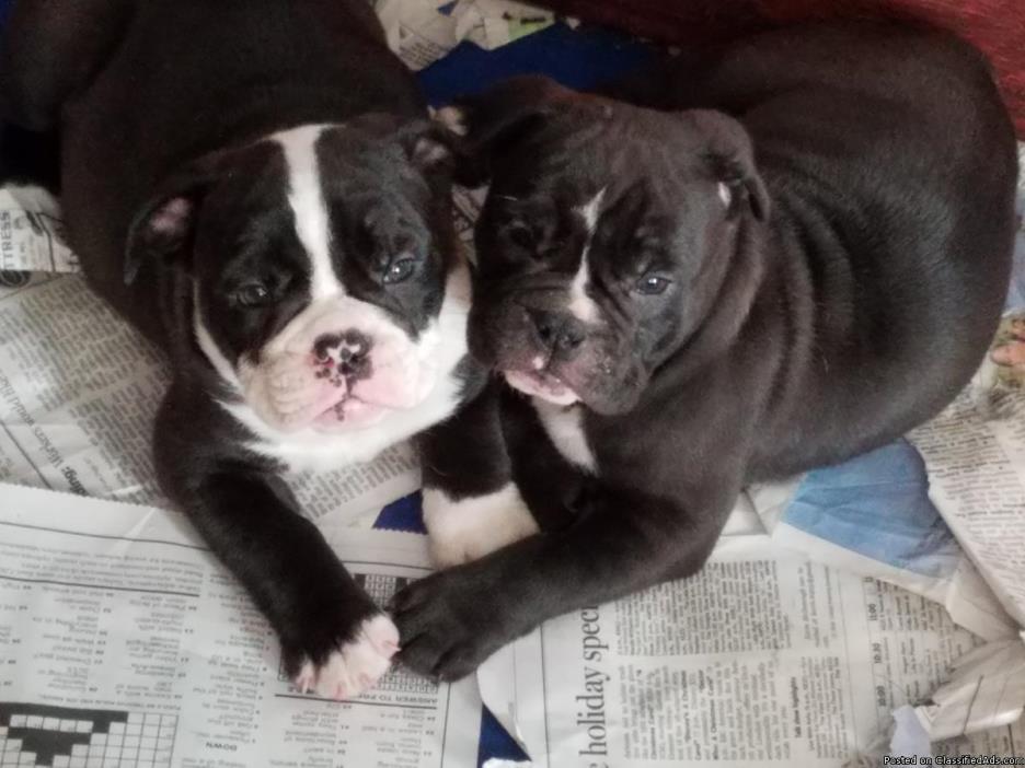 IOEBA Olde English Bulldogge Puppies!  F3! 2 Females Ready Now!