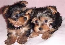 Two adorable 12 week old yorkies ready to go to their forever homes!