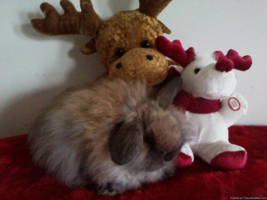 FUZZY HOLLAND LOP FOR SALE