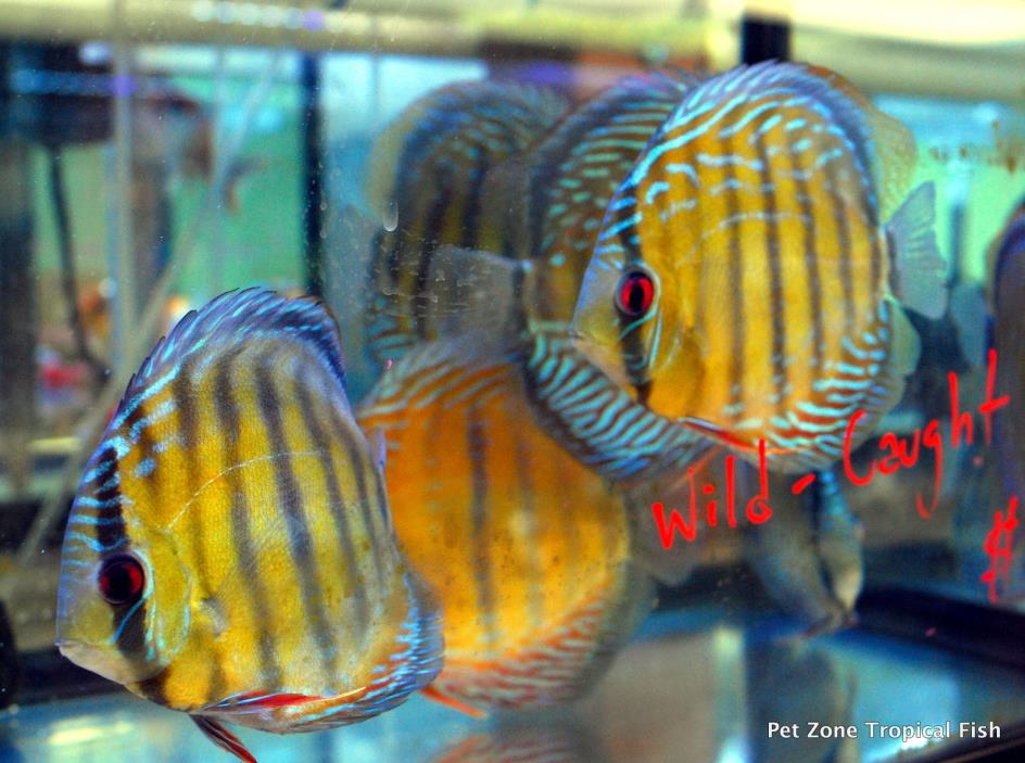 Discus fish for sale classifieds for Live discus fish for sale