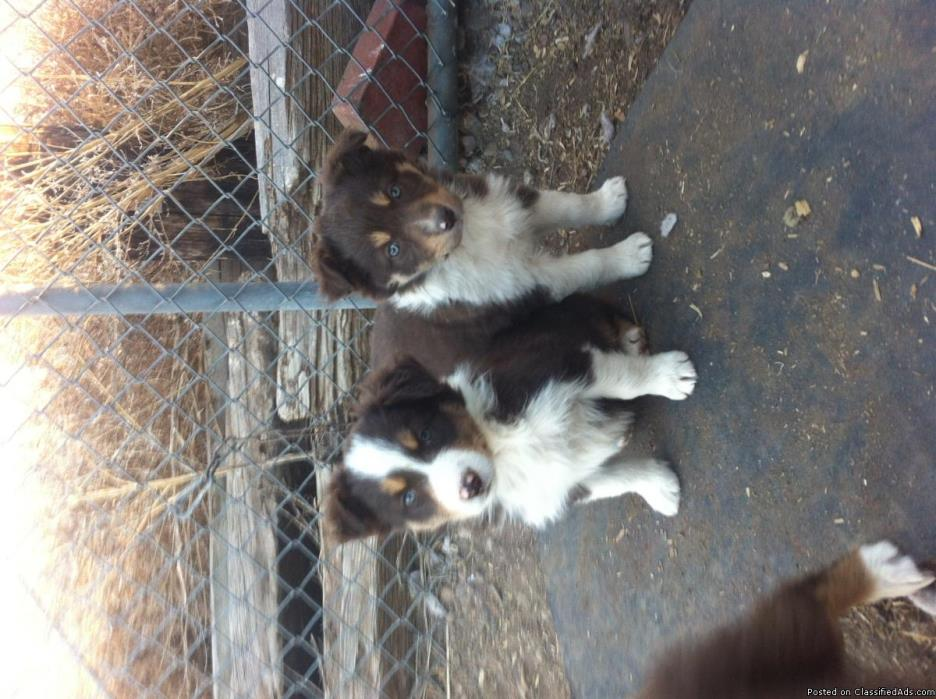 Border Collie Australian Shepherd Puppies