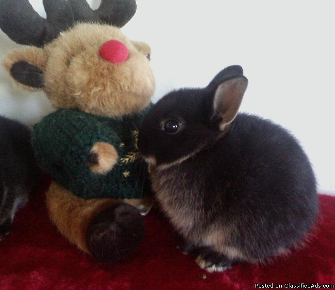 NETHERLAND DWARF Bunnies For Sale