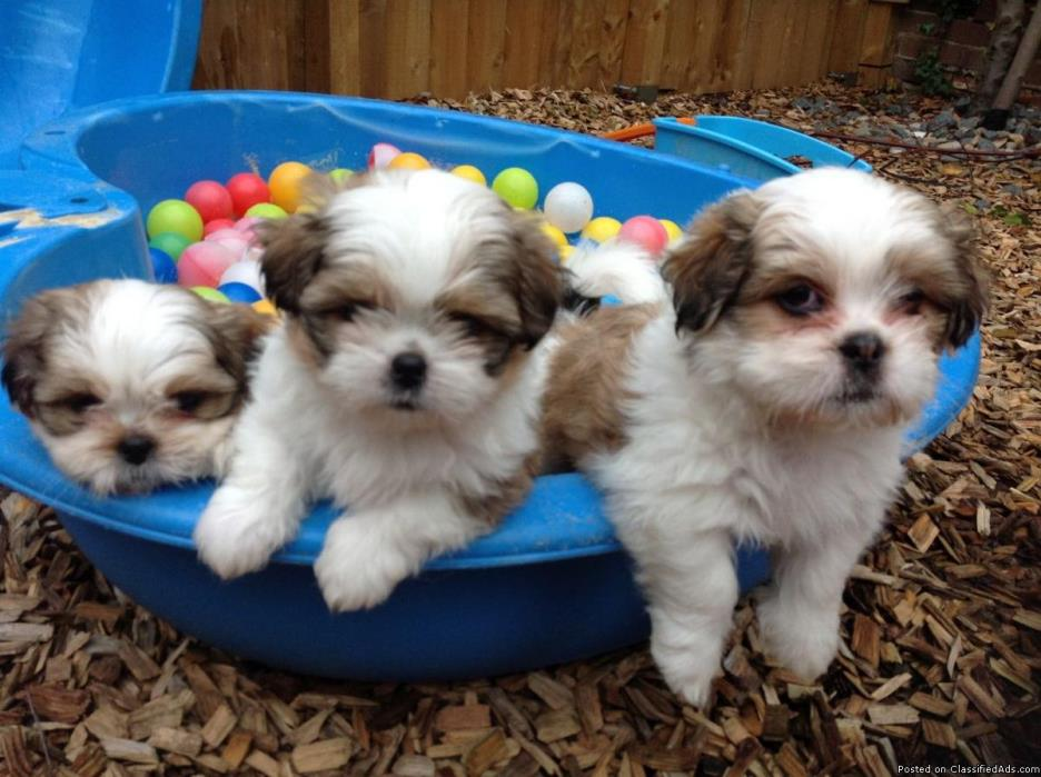 nice looking male and female shih tzu puppies