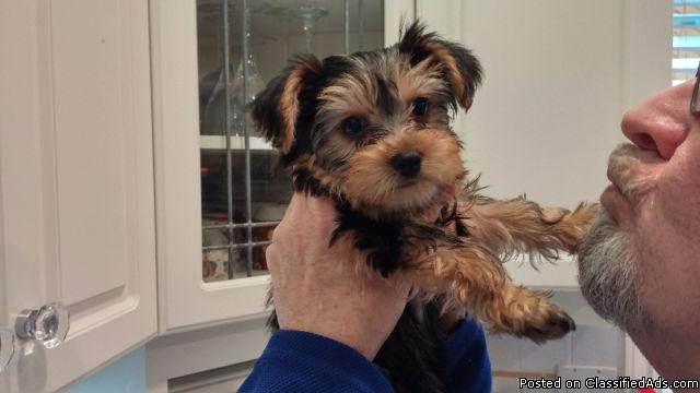 CKC Registered Yorkshire Terrier Puppies (Yorkies)