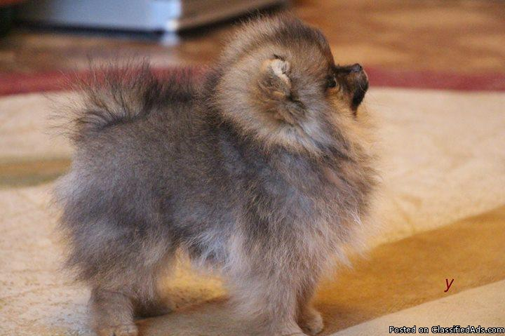 We have 4 of them left pomerainian puppies