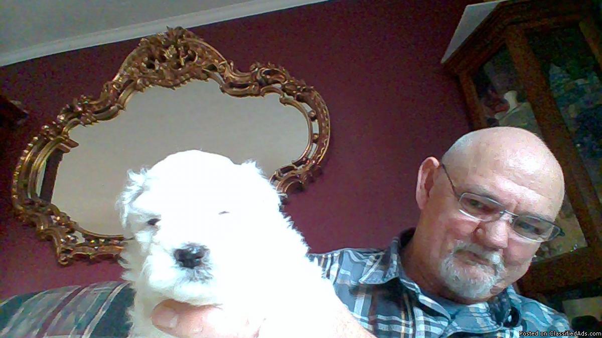 Bichon,Frise puppies