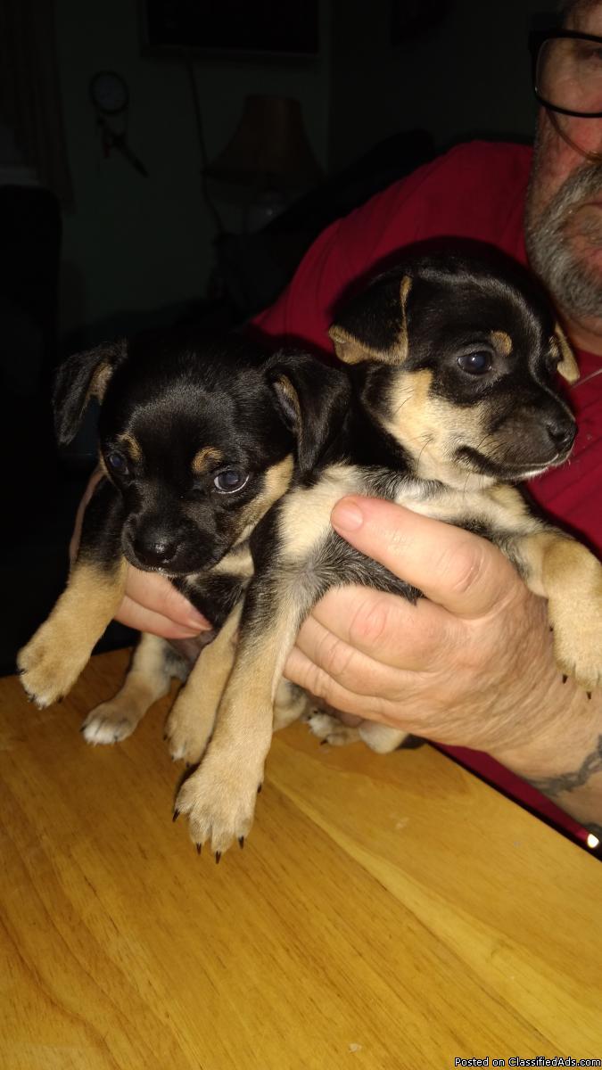 2 Chihuahuas, male, handsome, 6weeks