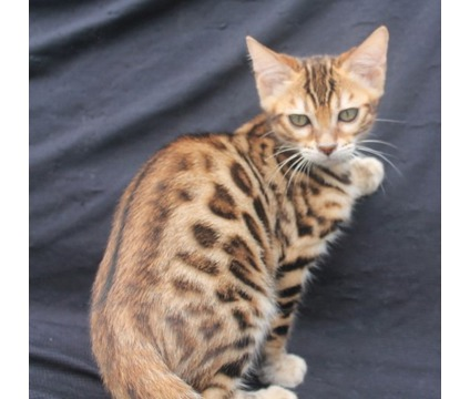 Leopard Rosetted Bengal kittens