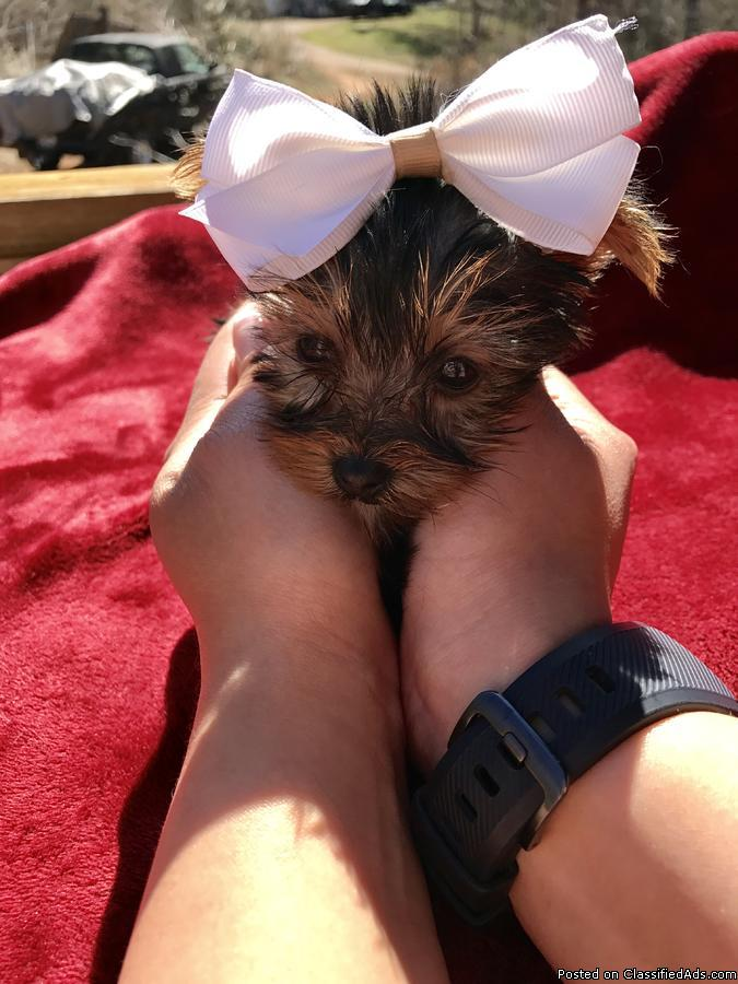 Extremely teeny tiny and compact micro yorkie,going on 3 months,almost a pound